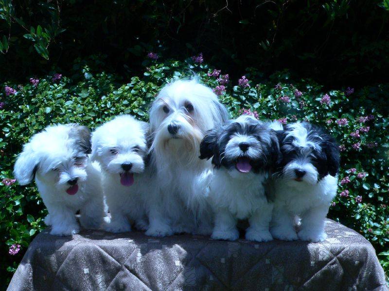 Havtahava Puppies